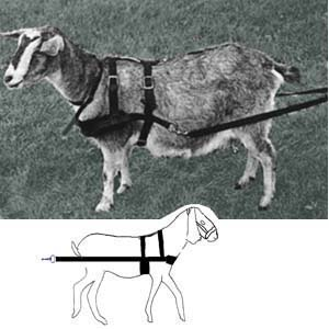 Goat Harness Work Basic