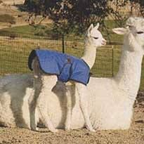 Alpaca Polar Coat