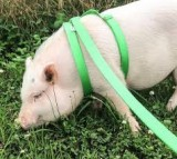 pot-bellied pig harness
